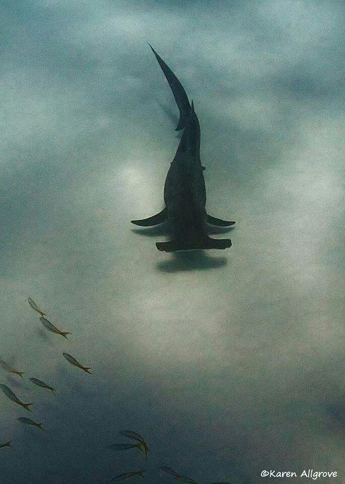 Mejores 36 imágenes de Scualo en Pinterest   Tiburón martillo ...