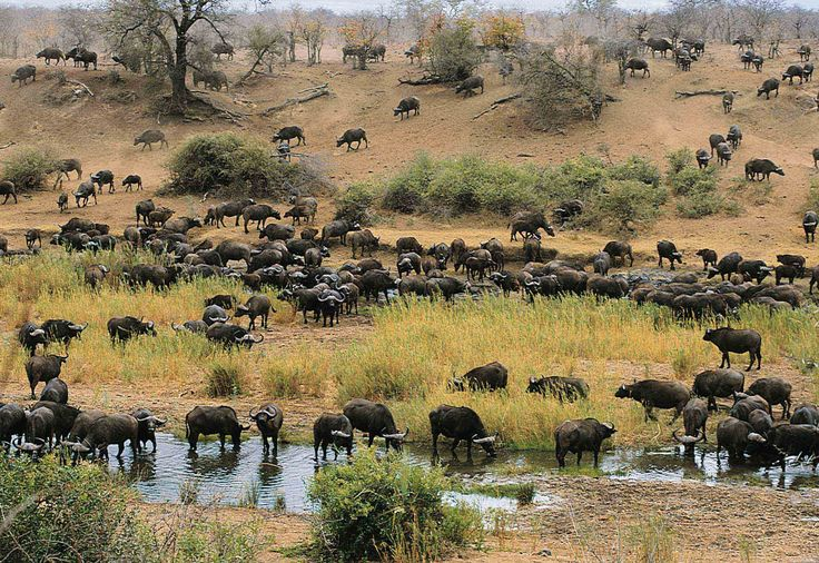 Krüger-Nationalpark - Büffelherde