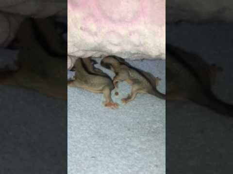 First Sugar Glider Babies https://www.youtube.com/watch?v=sTp2rZg8ovY&feature=youtu.be