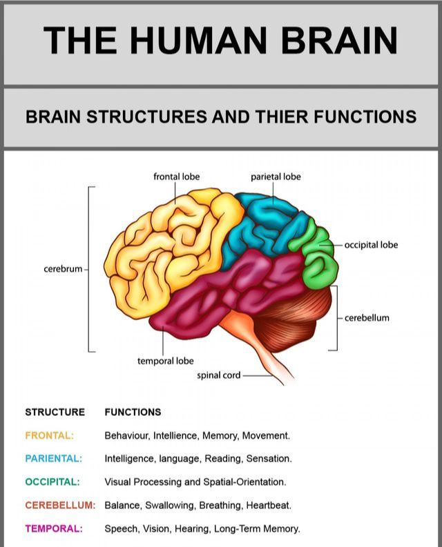 Functions in 2020 | Human brain, Brain structure, Brain lobes