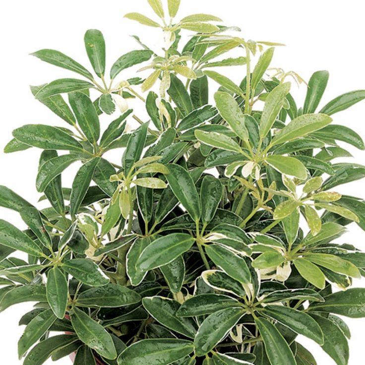 exotic angel plants moondrop dear santa pinterest