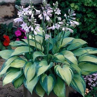 Hosta June  Hosta   Classic Easy to Grow Shade Garden Plant