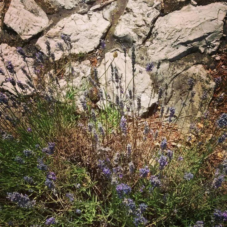 Lavender / levendula #aquincumhotel by Eszter F. on Foursquare