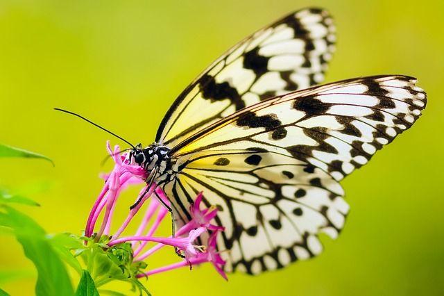 Ilmainen kuva Pixabayssa - Perhonen, Hyönteinen, Kukka, Kasvit