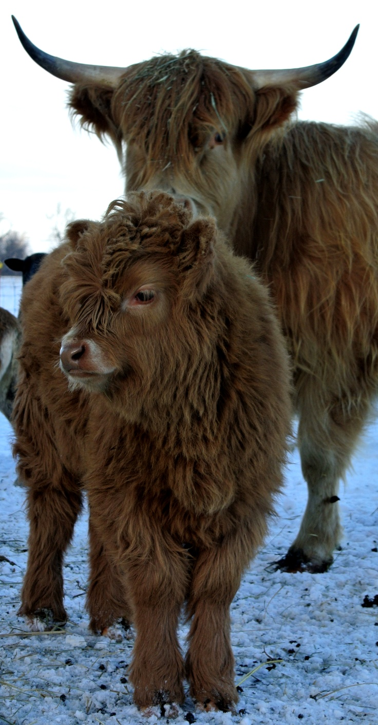 Scottish Highland Cows-In winter  Dixon Family Farm