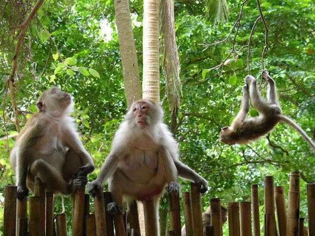 Singes en liberté le long d'un sentier à Railay Beach (Thaïlande)