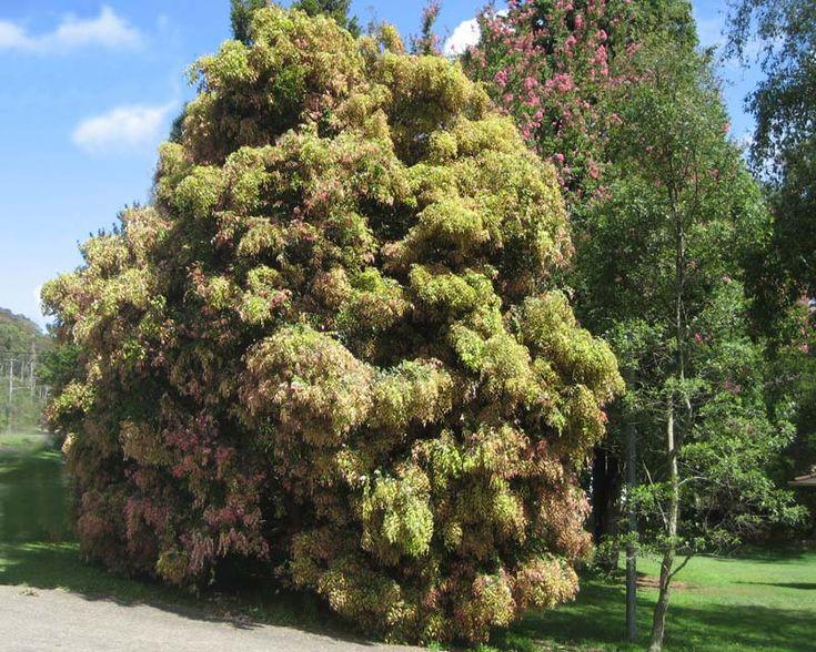GardensOnline: Syzygium luehmannii