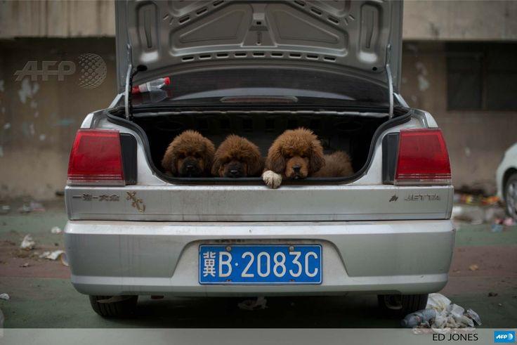 Prices around 750 000 usd mastiffs have become a prized status symbol