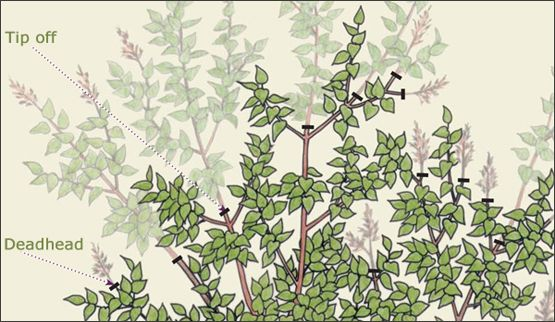 Where to deadhead and prune your lilac bush, though less drastically if yours is a dwarf or Miss Kim variety.