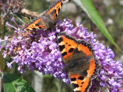Butterflies on buddleia