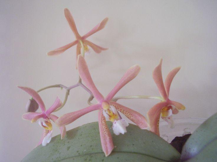 Phalaenopsis  mannii 'Black' x schilleriana .