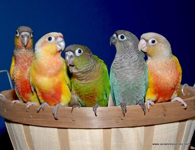 . A selection of Green-cheek Conure mutations. Left to right - Yellow-sided (Opaline), Dilute, Normal, Turquoise, Pineapple (Cinnamon Opaline)