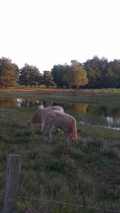 Zomeravond natuurgebied Varsenerveld Ommen Vechtdal Koeien