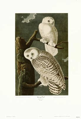Vintage Bird Illustration <3: Snowy Owl by Artist James Audubon. Lithograph