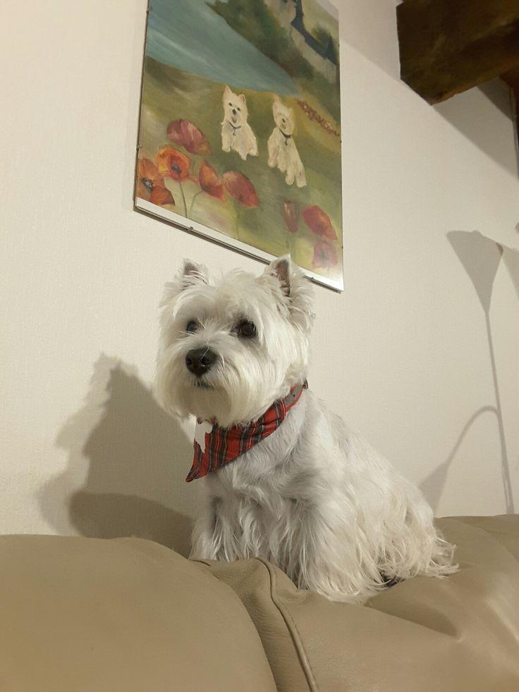 west highland Terrier.