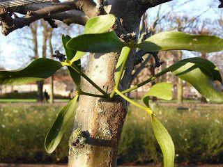 earlybirder: Mistletoe...