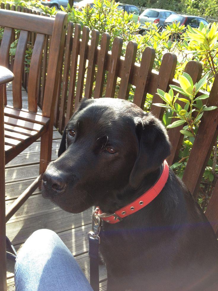 My lovely labrador Harry
