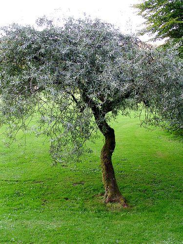 Pyrus salicifolia Pendula - Seite 1 - Gartenpraxis - Mein schöner Garten online