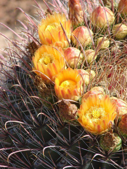 die besten 25 arizona cactus ideen auf pinterest. Black Bedroom Furniture Sets. Home Design Ideas