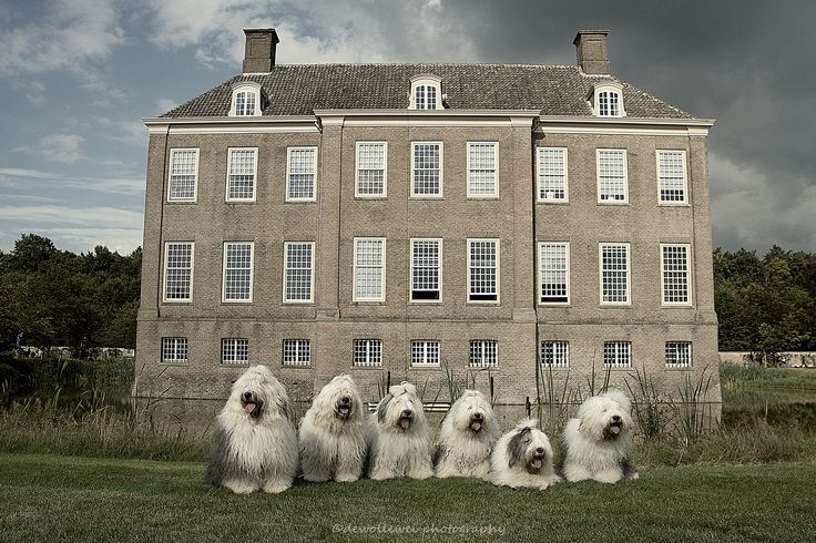 """Old English Sheepdog family ; ) """"our home is our castle"""" • dogs  Youri/Boy/Sophie belong to Cees in Holland • dewollewei photography 2014-09-14 via flickr 15099792079"""