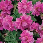 Birch's Double Everblooming Hardy Geranium ~ This is gorgeous!  I have a feeling this will be in my gardens soon.  LOL