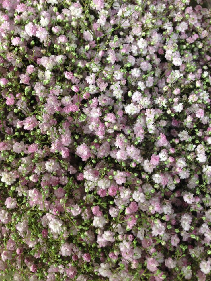 17 Best Images About Gypsophila Color Pink On Pinterest