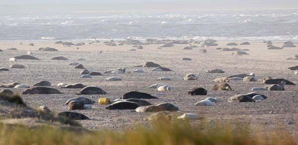 The Grey Seal colony on Blakeney Point, Noroflk, UK.
