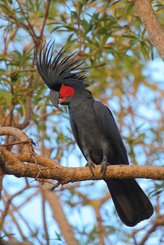 ༻⚜༺ ❤️ ༻⚜༺ The Palm Cockatoo (Probosciger Aterrimus) is a large dark-grey cockatoo w| large dark grey bill. It has orange-red facial skin patches. The crest is long and erect. The female is smaller w| less red on face. Young ones have pale yellow margins on feathers of the underside and a paler bill. They are found in the tropical rainforests of Cape York Peninsula, Queensland. ༻⚜༺ ❤️ ༻⚜༺