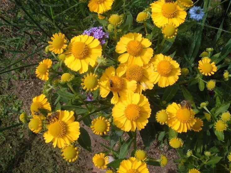Helenium autumnale {{Herbst-Sonnenbraut}} Samen Portion