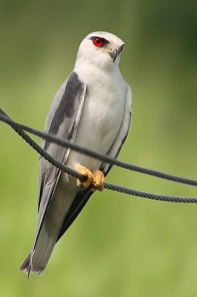 black, winged, kite, mmunie, michael, munie, birds