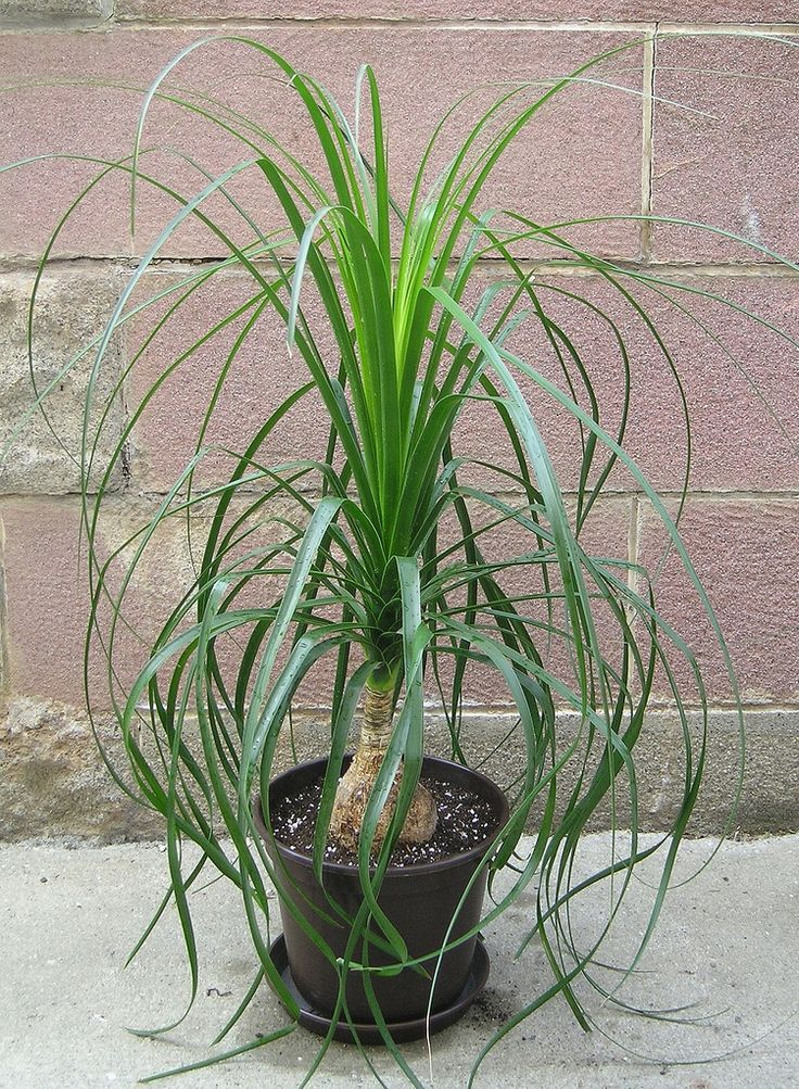 In recent years the ponytail palm tree has become a popular houseplant, and it is easy to see why. Ponytail palm is forgiving and easy in its care. Learn more caring for the plant in this article.