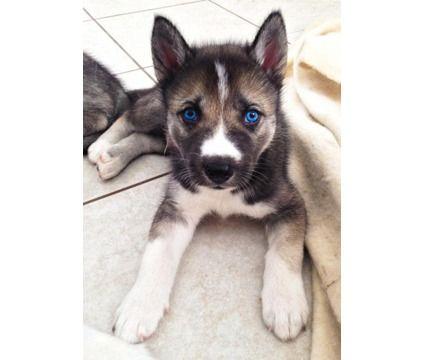 Siberian Husky Wolf Mix Puppies