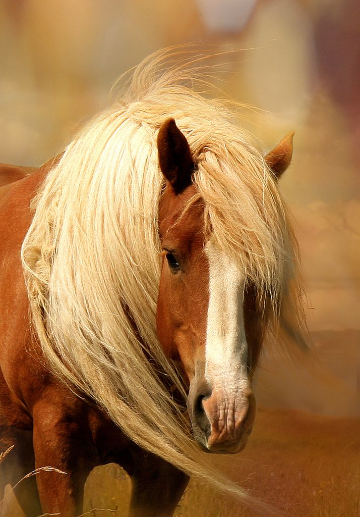 Just such a sweet face: Beautiful Horses, Hors Mane, Drafting Hors, Miniatures Hors, Blondes Beautiful, Raw Beautiful, Beautiful Creatures, Hors Breeds, Iceland Horses
