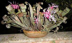Quesnelia marmorata (Jardin Boricua) Tags: flower flor bromeliad bromelia quesnelia quesneliamarmorata