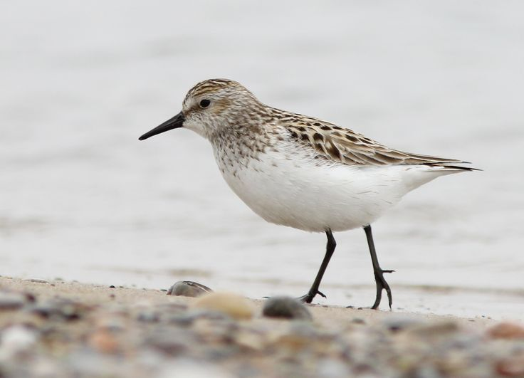 Semipalmated Sandpiper photo: adult foraging on a beach | the ...