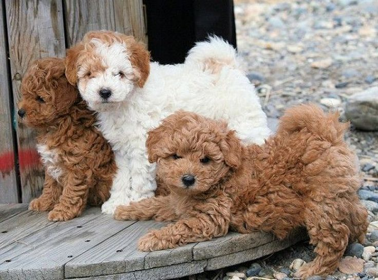 Three Adorable Little Poodle Dogs