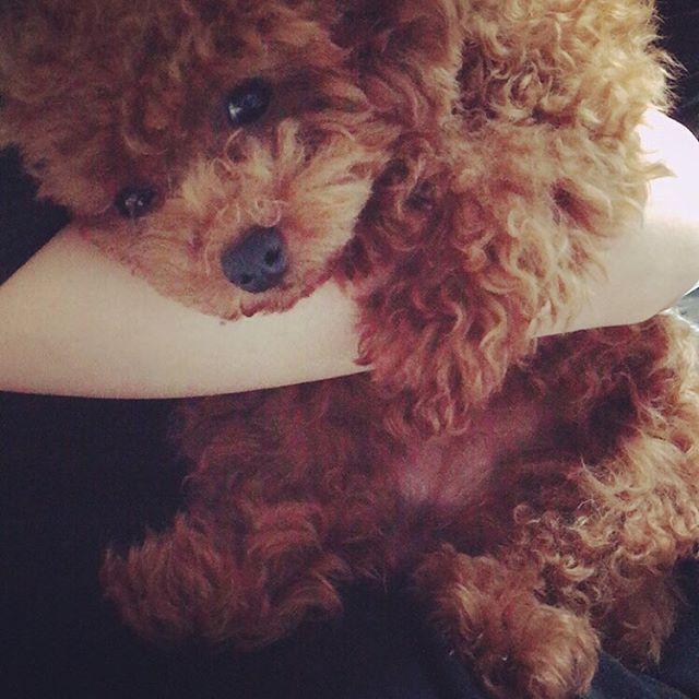 抱っこしてー! と言わんばかりに、もたれかかってくる可愛いやつ😵💕💕 #dog#dogstagram#いぬすたぐらむ#てんすたぐらむ#犬#子犬#愛犬#わんこ#女の子#可愛い#かわいい#kawaii#cute#love#lovery#好き#愛してる#プードル#トイプードル#ティーカッププードル#犬バカ#親バカ#poodle#toypoodle#ten#てん#てんちゃん#お笑い犬#癒し犬#我が家のアイドル