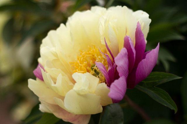 Brooks Gardens Peonies - Lemon Dream