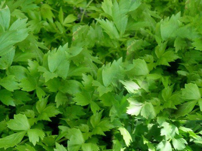 """Přírodní """"maggi"""" a léčivá bylinka jménem libeček! Tohle je 8 věcí, které jste o…"""