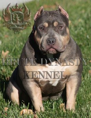 WWW.BRUTEDYNASTYKENNEL.COM Tri Color Bully PitBull Puppies For Sale Brute Bloodline