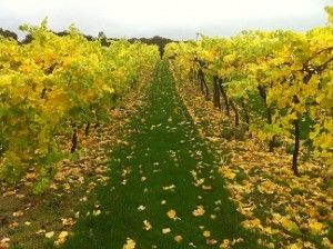 Biddenden Vineyards is where to go this Autumn. You can go on a free Guided Harvest Tour where you will learn about the history of the vineyard & how they make their wines, ciders and juices. Pre-booking is essential. www.biddendenvineyards.com