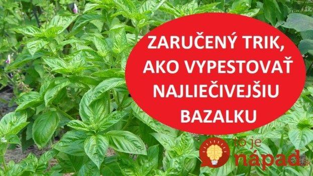 Zníži cholesterol, zlepší vám zrak a ochráni srdce: Toto treba urobiť, aby ste vypestovali najliečivejšiu bazalku s obrovskými listami!