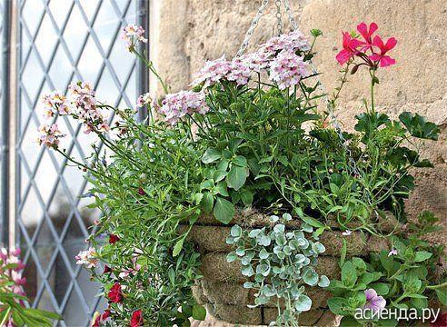 Каждый любитель цветов, путешествующий летом по Европе, любуется подвесными цветочными корзинами, украшающими сады. В последние годы такие корзины появились у нас, и популярность их растет...