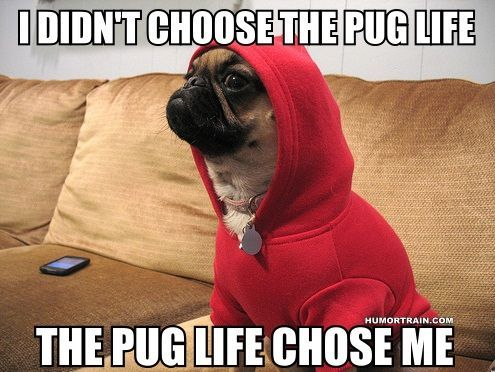 I didn't choose the pug life, the pug life chose me.: Animals, Dogs, Thug Life, Pug Life, Funny Stuff, Pugs, Life Chose