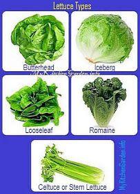 Lettuce Types- Butterhead, Crisphead, Looseleaf, Romaine, Stem lettuce