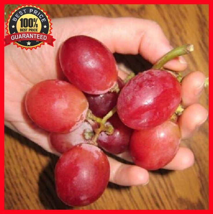 100+ Giant Red Globe Grape Seeds * Biggest Variety, Juicy Fruits Finest Seeds #RedGlobeGrapeSeeds