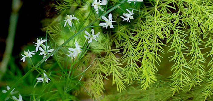 """Shatavari- """"The Herb With Hundred Roots"""""""