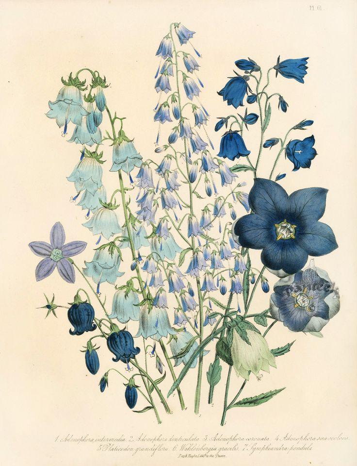 Adenophora denticulata botanical by Jane Loudon