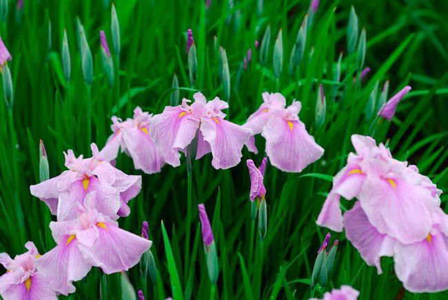Iris Ensata 'Coho',Japanese Iris 'Coho', Japanese Flag 'Coho', Japanese Water…