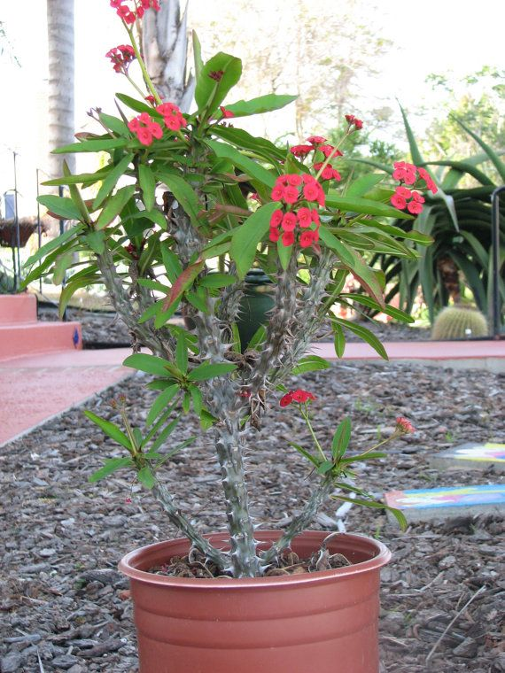 Euphorbia Milli Crown of thorns large Succulent by CactusLimon